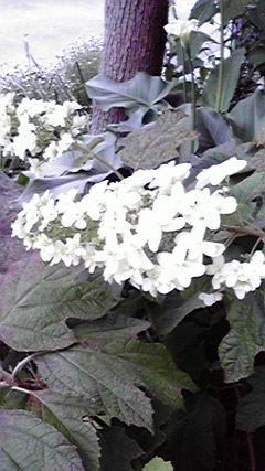 かしわ葉紫陽花