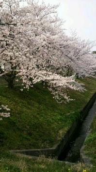 あっちの桜も。