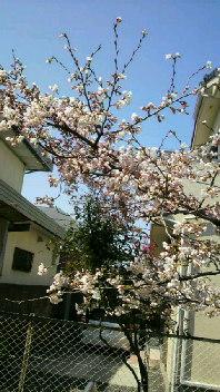 実家の桜。